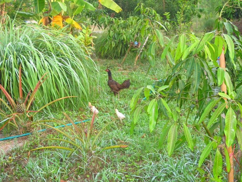 a small family of chickens wandering around looking for food