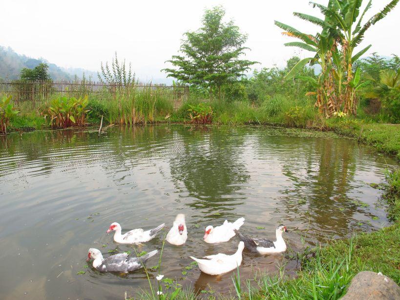 happy ducks enjoy an early morning swim