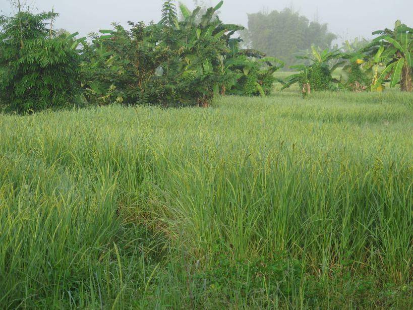 rice 2013
