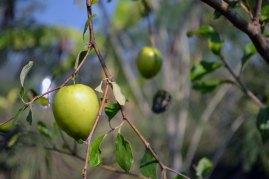พุทราจีน   Empress Serena's absolute favorite fruit, of which she requires two per day. Minimum.