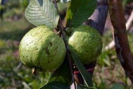 ฝรั่ง   We grow two varieties of guava: pink and white. These two aren't quite ready to be picked yet, they're quite astringent when green.