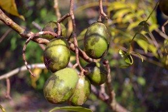 มะกอกฝรั่ง   A native of Polynesia, the ambarella is a crunchy, slightly sour fruit. It tastes better than it looks!