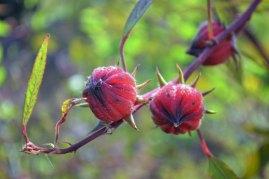 กระเจี๊ยบแดง   After flowering, roselle curls up into these seed pods. The red parts, when dried, make a delicious sour tea, especially prized in Burma.