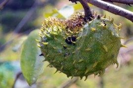 ทุเรียนเทศ   One of my favorites from South America, the soursop is a part of the custard apple family. Early research has shown that the leaves could have anti-cancer properties.