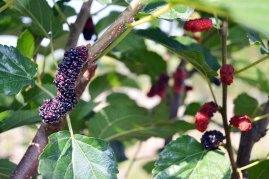 หม่อน   Ripe mulberries are dark purple, almost black, quite sweet, and hardly sour at all. One of Serena's favorite snacks.