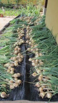 onions 2015