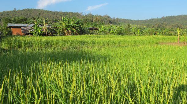 rice field 2014