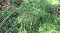 chopped leucaena