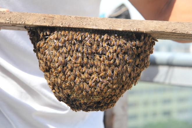 Asian honeybees (Apis cerana)
