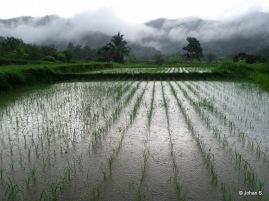 rice field in the rain