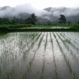 rice field in the rain
